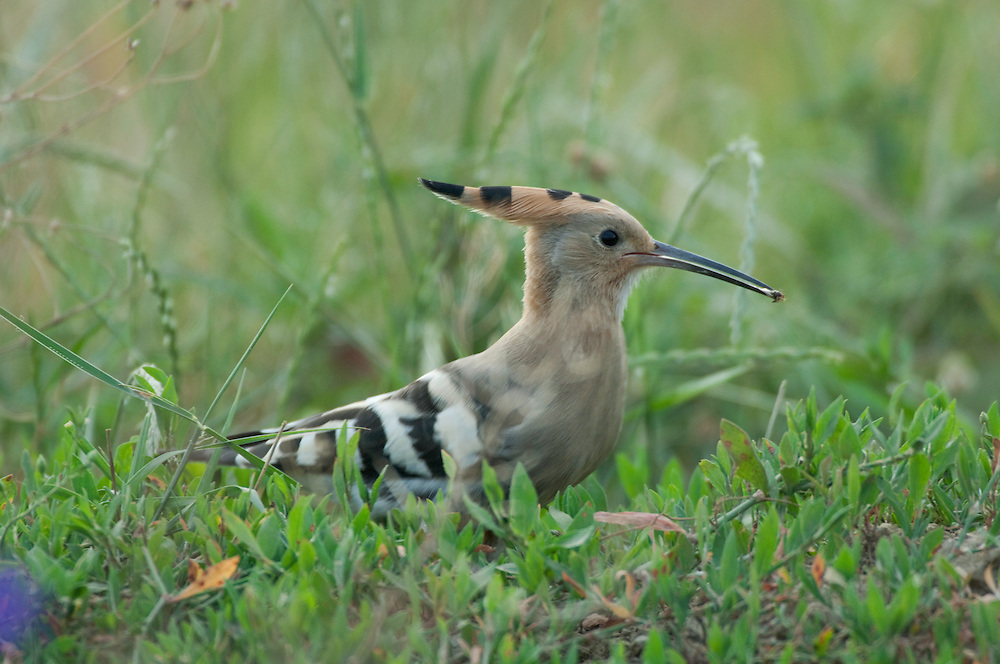Hoopoe (Upupa epops) in Balti region, central Moldova