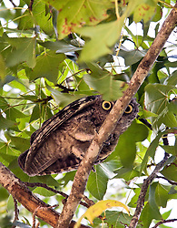 A small tree branch splits an owl's gaze.