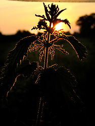 UK ENGLAND NORFOLK HINDOLVESTON 9JUN06 - Silhouette of nettles in the sunset at The Old Chapel, sunset.<br /> <br /> jre/Photo by Jiri Rezac<br /> <br /> © Jiri Rezac 2006<br /> <br /> Contact: +44 (0) 7050 110 417<br /> Mobile:  +44 (0) 7801 337 683<br /> Office:  +44 (0) 20 8968 9635<br /> <br /> Email:   jiri@jirirezac.com<br /> Web:    www.jirirezac.com