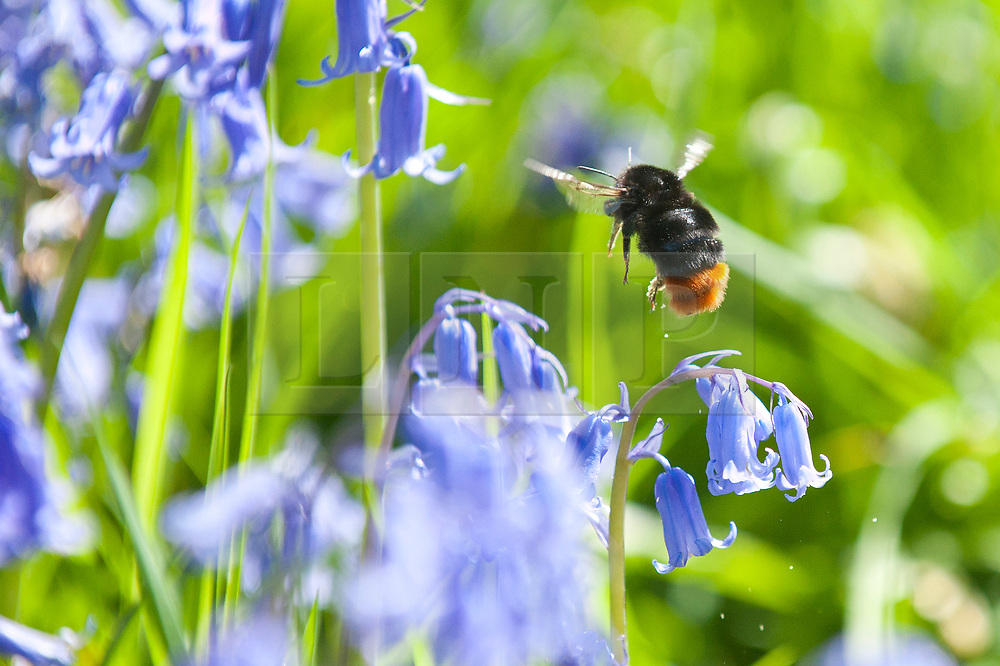 © Licensed to London News Pictures. 14/05/2019. Llandrindod Wells, Powys, Wales, UK. A bumblebee is attracted by the bluebells. Blooming later in Mid Wales than most of the UK, Bluebells now bring a blaze of colour to a wood near Llandrindod Wells in Powys, Wales, UK. Photo credit: Graham M. Lawrence/LNP