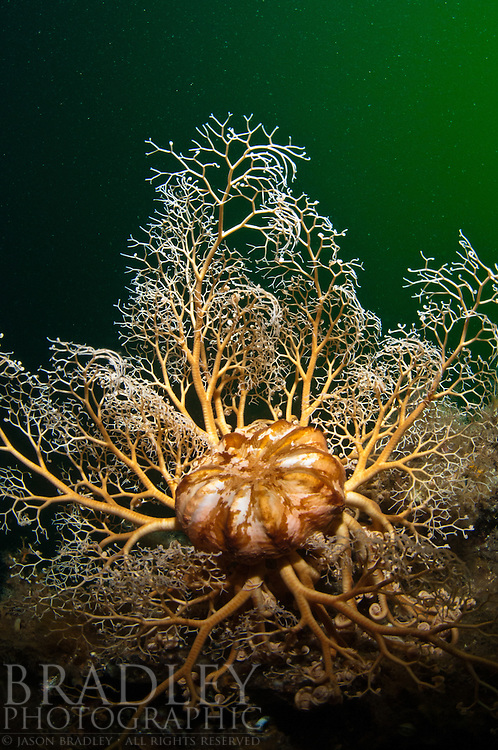 The frilled arms of a large basket star, shot on the wreck Kathleen in Southeast Alaska