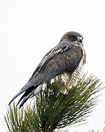 Swainsons's hawk with raindrops beaded on its water-repellent feathers, perched on the top of a ponderosa pine tree by gripping needle clusters, © 2015 David A. Ponton
