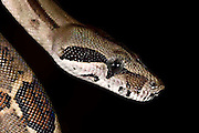 Boa constrictor, Osa Peninsula, Costa Rica