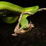 White-Lipped Pit Viper (Trimeresurus albolabris) preying on Spot-legged tree frog (Polypedates megacephalus) (in situ) in Kaeng Krachan national park, Thailand