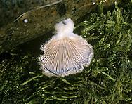 common porecrust<br /> Schizophyllum commune