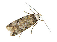 28.009 (0648)<br /> White-shouldered House-moth - Endrosis sarcitrella
