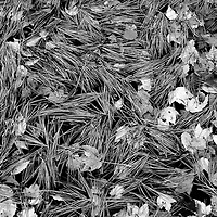 Pine Needles and Leaves, Buhl Park, Sharon, Pennsylvania