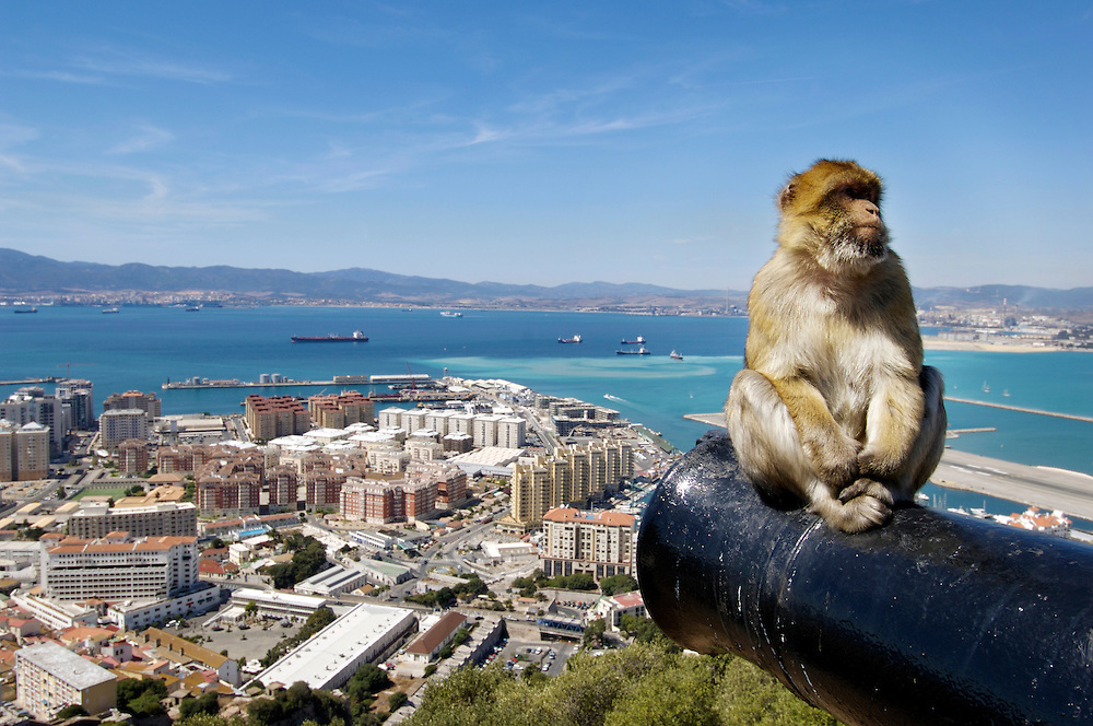 Gibraltar Barbary macaque monkey sits on a canon overlooking the Bay of Algeciras