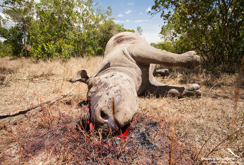 The reality of Africa's poaching crisis. A black rhino brutally slaughtered for its horn at an undisclosed location in Kenya.
