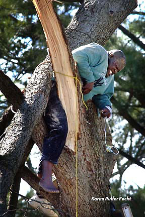 Harold White waits to be rescued while trapped in a tree that fell on him as he cut it . It is work he does on the side. kpfjl (Crushed by fallen tree)