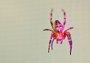 Spider on my deck. Shot with Nikon 700, Nikon 60mm macro lens, SB800 strobe with  Rogue Flashbender grid and purple filter.