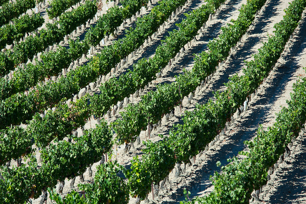 Marques de Riscal vineyard with black grapes for Rioja red wine  at Elciego in Rioja-Alaveda, Spain