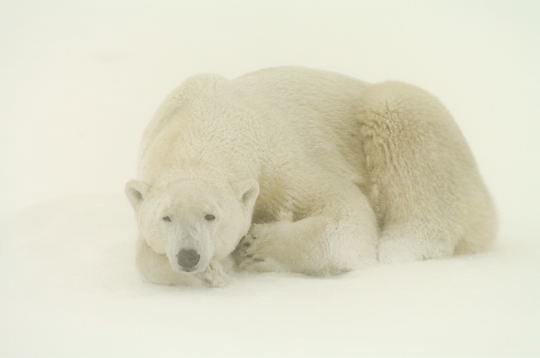 Polar Bear (Ursus maritimus) Resting in snow. November. Winter. Along the Hudson Bay near Churchill, Manitoba. Canada.