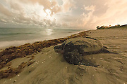 A female Leatherback Sea Turtle, Dermochelys coriacea, nests in Juno Beach, Florida, United States.