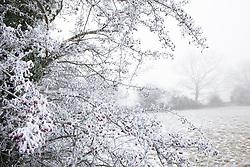 Hoar frost on Hawthorn berries. Crataegus monogyna