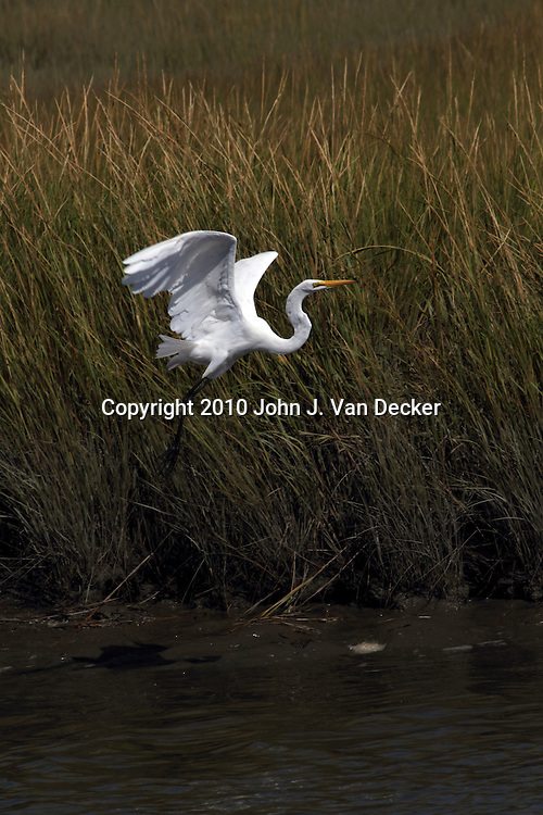 A Great Egret, Ardea alba, lifting off and flying over a saltmarsh. Edwin B. Forsythe National Wildlife Refuge just north of Atlantic City, New Jersey, USA, North America.