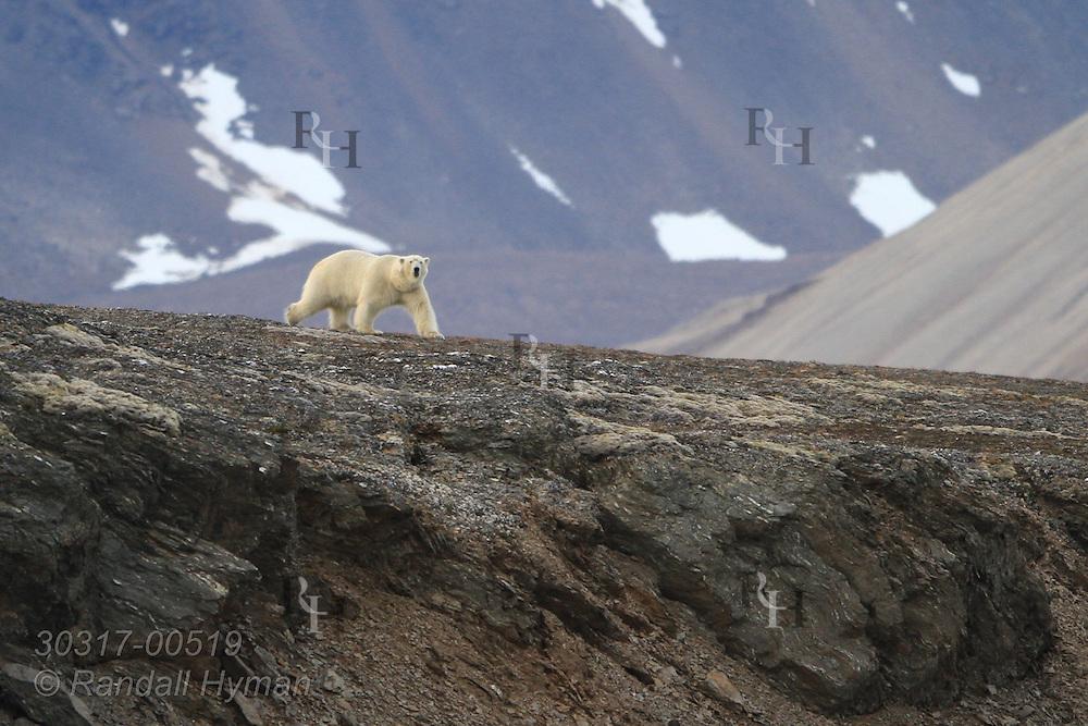Polar bear searches for food along coast near Krossfjorden, Svalbard.