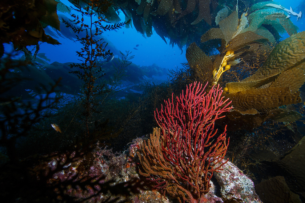 A red gorgonian in a kelp forest, Eagle Reef, Catalina, Channel Islands, California
