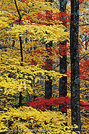 Maple trees in autumn, Great Smoky Mountains National Park, Tennessee