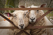 Two Ewe's look at camera through field gate.