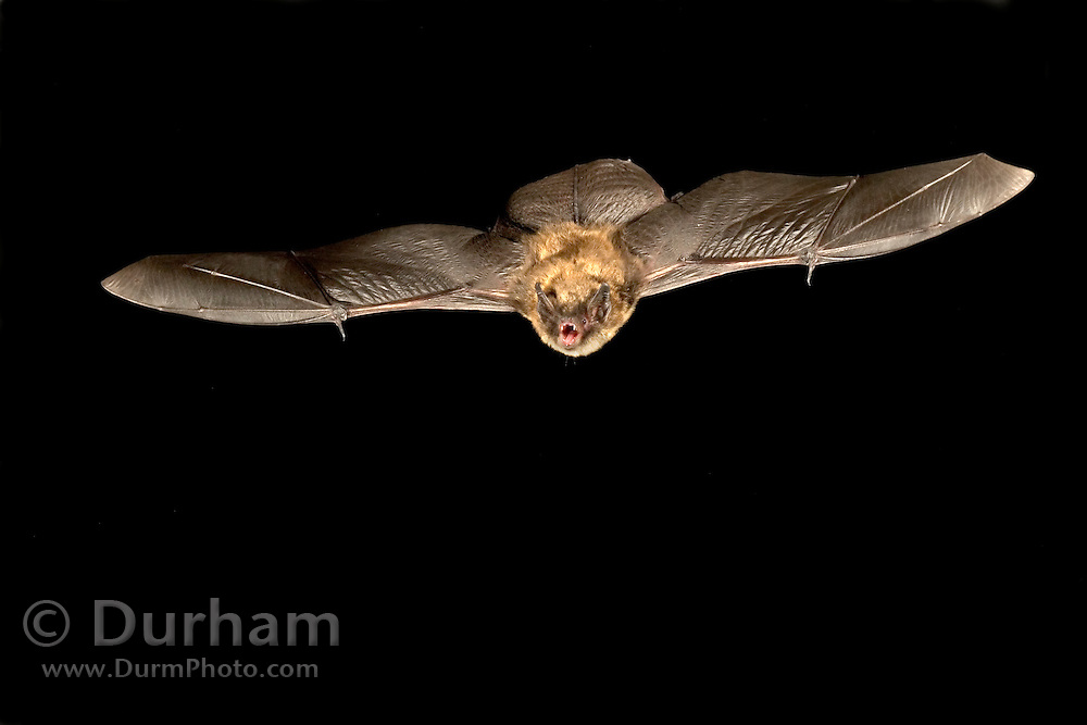 A llittle brown bat (Myotis lucifugus) flying at night in the Rogue River National Forest, Oregon.