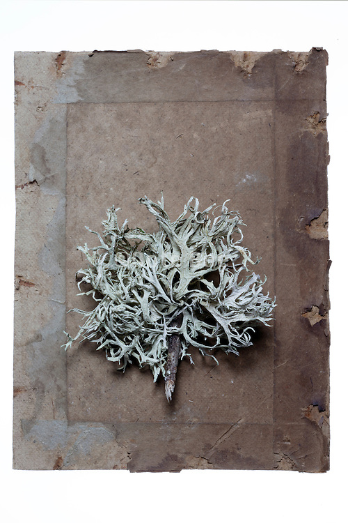 dried moss twig on a carton