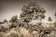 Fallen western juniper tree among sagebrush and bunchgrass in the Oregon Badlands Wilderness near the city of Bend