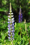 Beautiful lupins at Strathcona Lodge, Vancouver Island