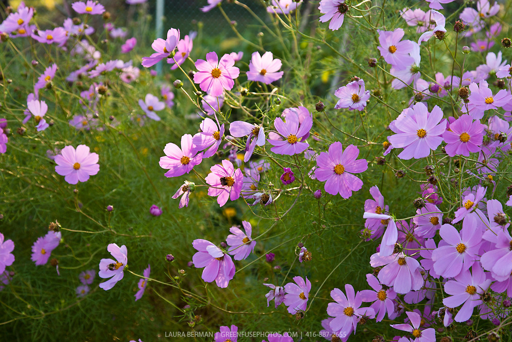 Pink Cosmos bipinnatus, a fast growing, daisy-like annual flower with ferny foliage.