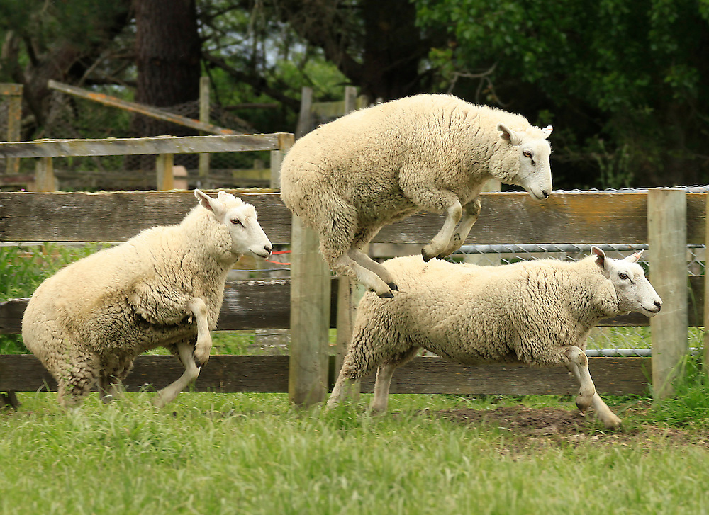 Sheep jumping out of sheep yards, composite hogget's, North Canterbury, New Zealand, Friday, November 04, 2011.  Credit:SNPA / Pam Johnson