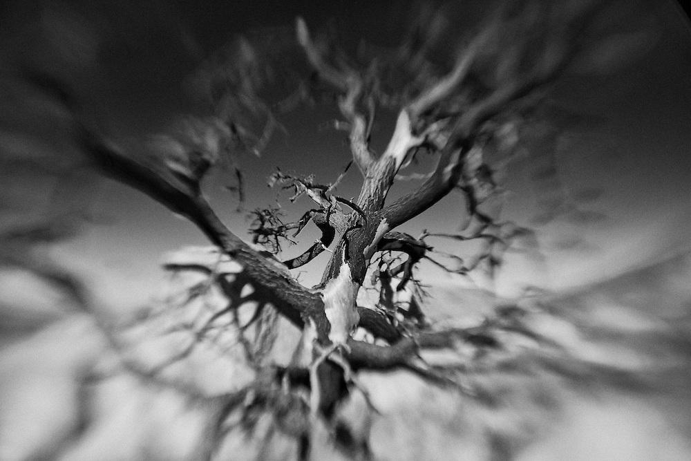 Desert Oak - Lensbaby - Infrared Black & White
