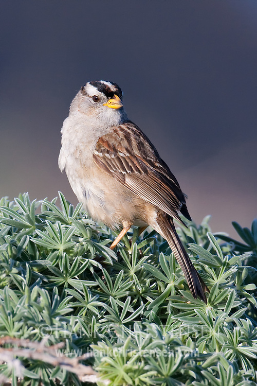 A white-crowned sparrow perches in morning light, Salt Point State Park, California