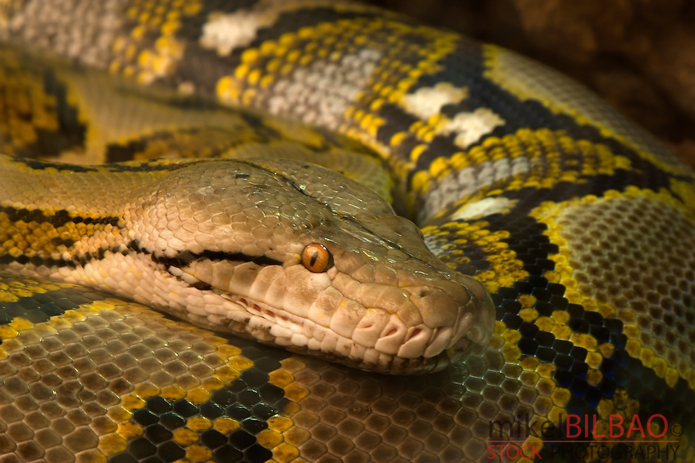 reticulated python, regal python or asiatic reticulated python (Python reticulatus)