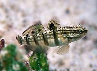 Amblygobius phalaena; banded goby; swimming