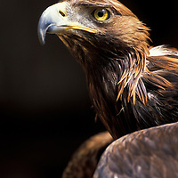 Golden eagle Aquila chryaetos captive UK