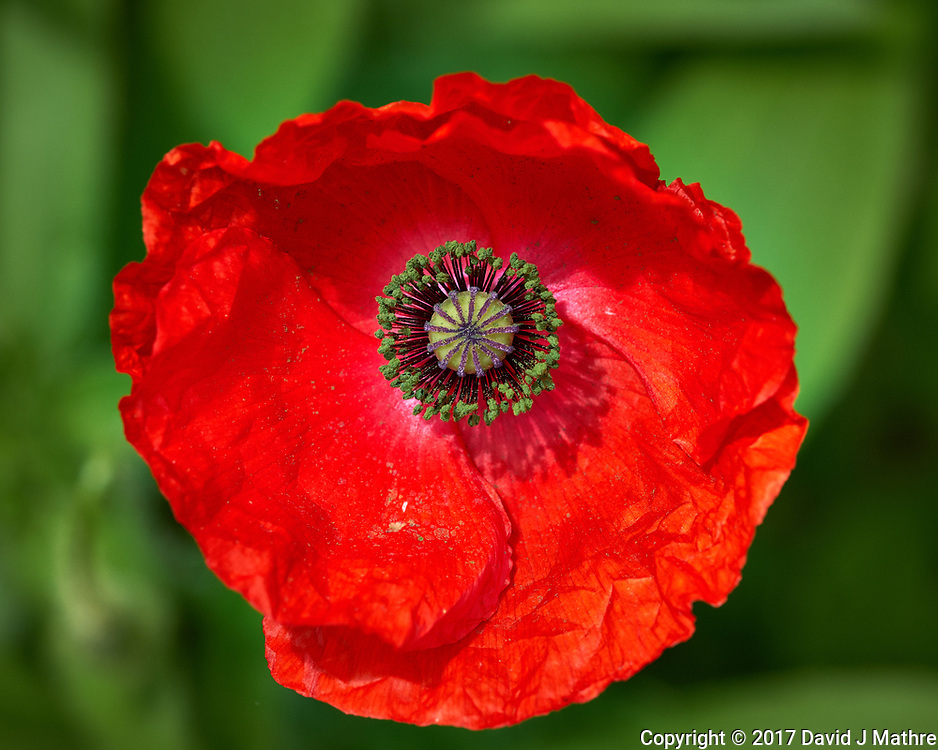 Red Poppy flower. Backyard spring nature in New Jersey. Image taken with a Fuji X-T2 camera and 90 mm f/2 lens (ISO 200, 90 mm, f/5.6, 1/750 sec).