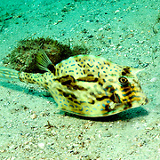 Scrawled Cowfish swim about a wide range of habitats from reefs to walls to sea grass beds in Tropical West Atlantic; picture taken Blue Heron Bridge, Palm Beach, FL.