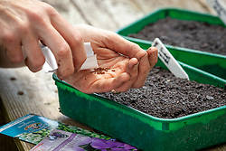 Sowing biennials into a half seed tray. Foxgloves - Digitalis purpurea -  and Sweet rocket - Hesperis matronalis