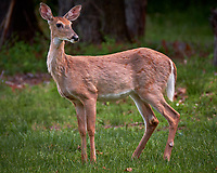 Young doe wondering why I am looking at her. Backyard spring nature in New Jersey. Image taken with a Fuji X-T2 camera and 100-400 mm OIS lens (ISO 200, 400 mm, f/6.4, 1/60 sec).