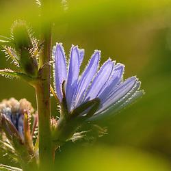 Asteraceae or Compositae, Composietenfamilie