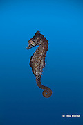 dwarf seahorse or sea horse, Hippocampus zosterae , native to subtropical Western Atlantic ( Florida and Bermuda ) and Gulf of Mexico