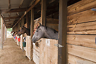 Race horses in stalls, Miles City Montana