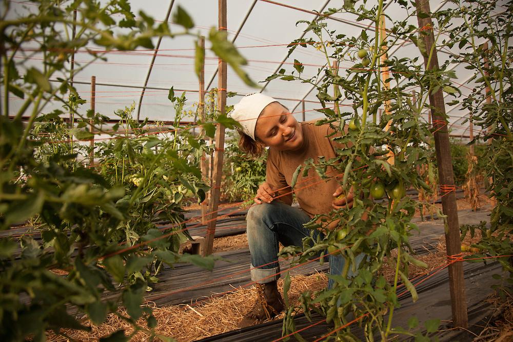 Natalie Horvath harvests tomatos at Green Edge Gardens in Amesville. Photo by Ben Siegel/ Ohio University.