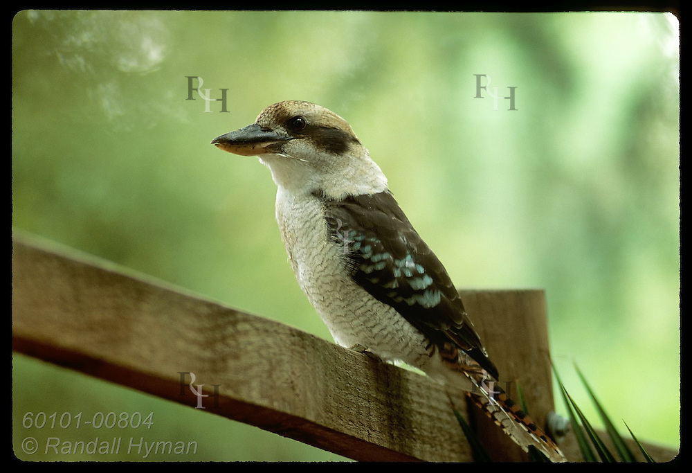 Kookaburra perches on rail of wooden fence at zoo in Wagga Wagga, New South Wales. Australia