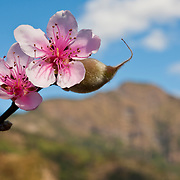 A young peach and peach blossom with mountains in the background. Tropical peaches grown in the San Ming area are famous for their sweetness. Namasiya Township, Kaoshiung County, Taiwan