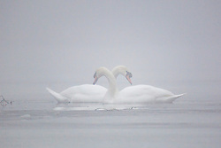 © Licensed to London News Pictures. 05/03/2018. Leeds UK. Two Swans sit in the freezing water at Golden Acre park in Leeds this morning as the county is covered with thick fog for a second day. Photo credit: Andrew McCaren/LNP