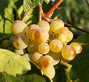 Narinje grapes at Vinkara