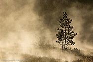 Trees silhouetted in morning mist, Yellowstone National Park, Wyoming/Montana.
