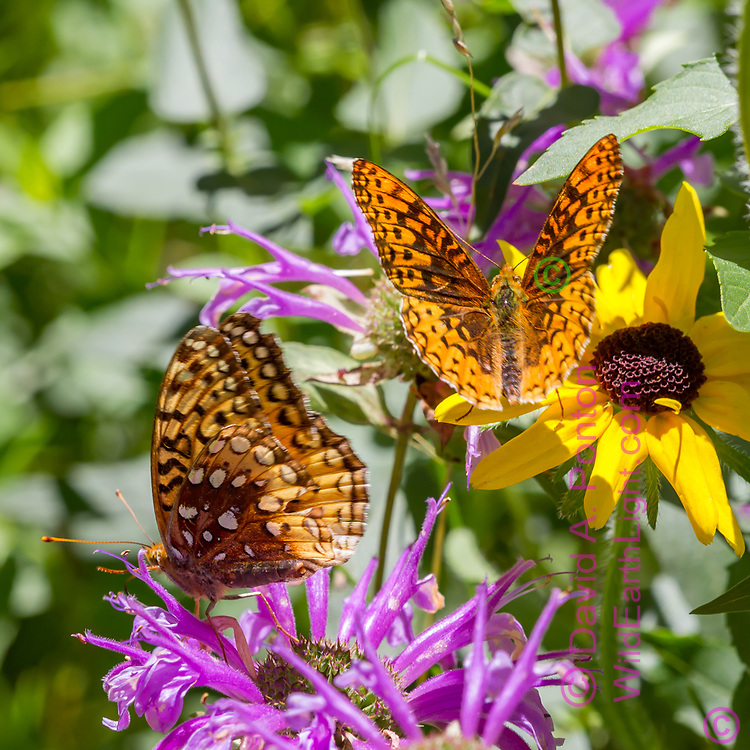Butterflies and wildflowers: Fritillary butterflies feeding on horsemint blossoms, with a black-eyed Susan blossom, Jemez Mountains, NM. © 2010 David A. Ponton