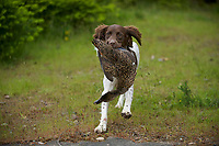 Young Springer Spaniel gundog training with duck,   Gabriola , British Columbia, Canada